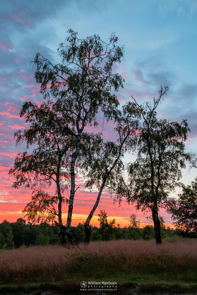Photo in Nature #light #tree #maasduinen #landgoed #landgoed de hamert #de hamert #hamert #noord-limburg #limburg #wellerlooi #national park #nature #limburgs landschap #trees #forest #twilight #colorful #birch #birches