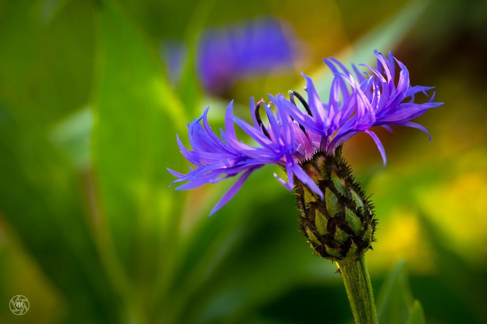 Photo in Macro #centaurea cyanus #bachelor's button #blue #bluebottle #boutonniere #bokeh #cornflower #flower #cyani flower #green #hurtsickle #macro #purple #yellow #blooming #cornflower blooming #wm-cornflower