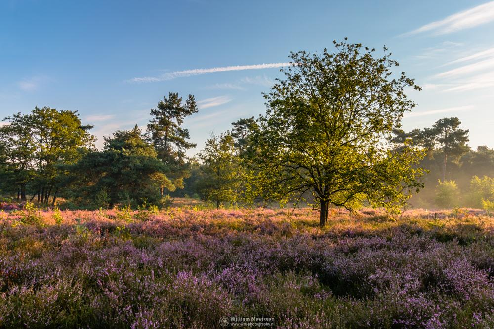 Photo in Nature #boshuizerbergen #boschhuizerbergen #limburg #noord-limburg #venray #nature #nature reserve #forest #woods #juniper #sand #shifting sand #heathland #heather #limburgs landschap #netherlands #pine #pine forest #tree #blooming #hdr