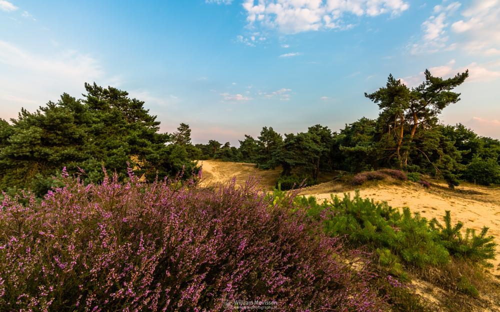 Photo in Landscape #boshuizerbergen #boschhuizerbergen #noord-limburg #limburg #venray #nature #nature reserve #limburgs landschap #netherlands #juniper #juniper thickets #sand #shifting sand #heathland #heather #blooming #forest #woods #hdr