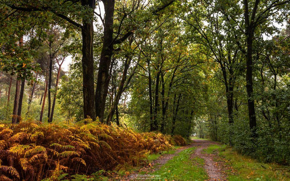 Photo in Nature #boshuizerbergen #boschhuizerbergen #limburg #noord-limburg #venray #nature #nature reserve #forest #woods #limburgs landschap #netherlands #pine #pine forest #misty #mist #foggy #fog #autumn #moody #mood #gold #green #yellow #orange #foliage #grass #path #trees #fern #tunnel