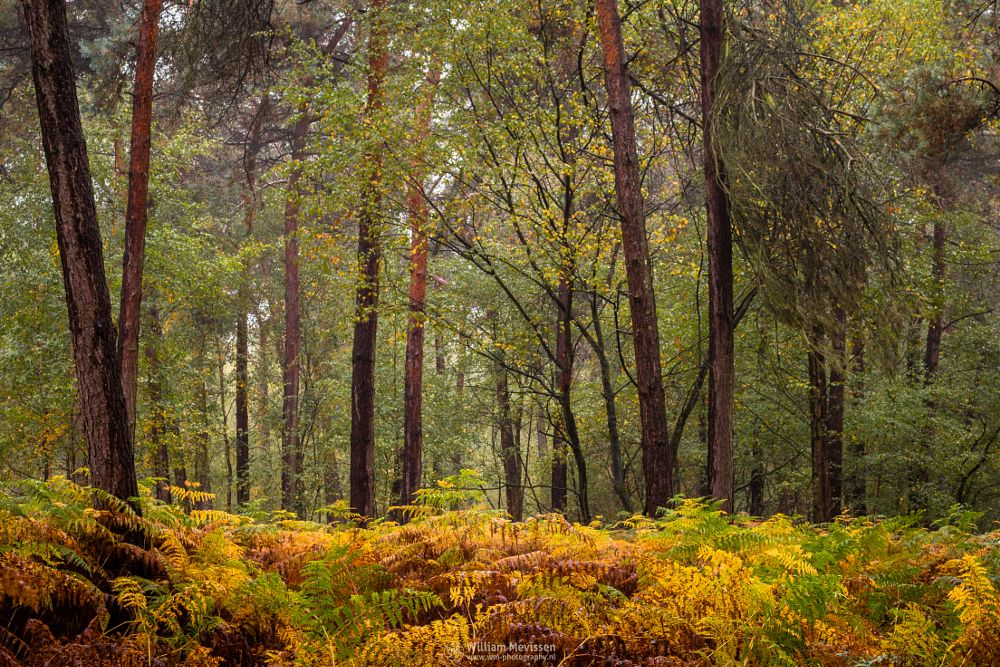 Photo in Nature #boshuizerbergen #boschhuizerbergen #limburg #noord-limburg #venray #nature #nature reserve #forest #woods #limburgs landschap #netherlands #pine #pine forest #misty #mist #foggy #fog #autumn #moody #mood #gold #green #yellow #orange #foliage #trees #fern