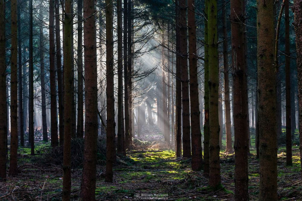 Photo in Nature #geijsteren #venray #oostrum #landgoed geijsteren #estate #landgoed #weichs de wenne #limburg #noord-limburg #nature #nature reserve #forest #pine forest #woods #autumn #green #geysteren #sunrise #rays #sunrays #mist #fog #foggy #beams #light beams