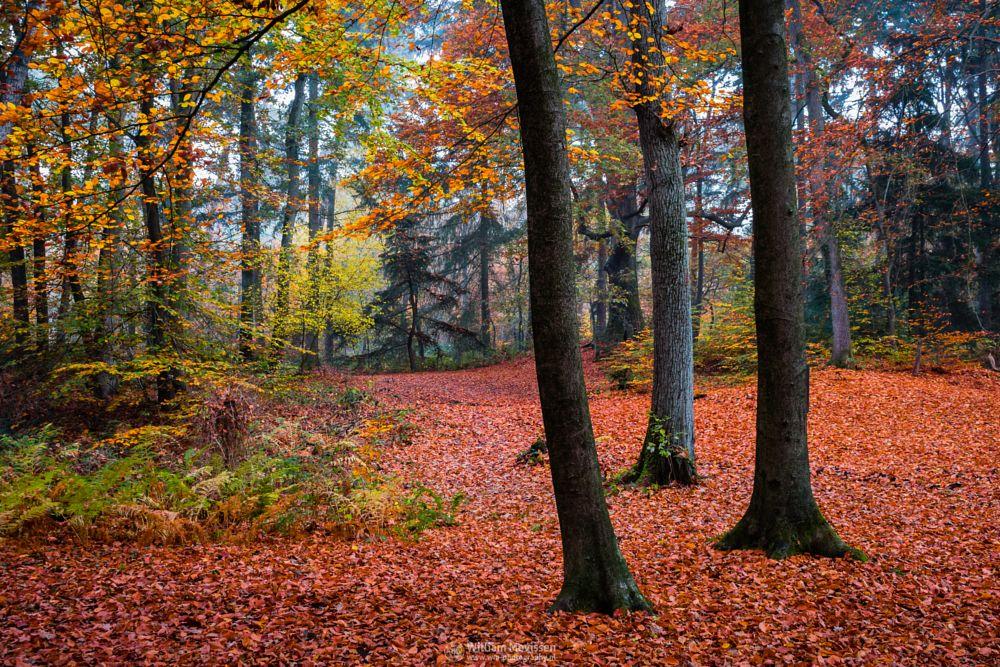 Photo in Nature #geijsteren #venray #oostrum #landgoed geijsteren #estate #landgoed #weichs de wenne #limburg #noord-limburg #nature #nature reserve #forest #woods #autumn #leaves #red #green #orange #yellow #geysteren #twilight #foliage #mist #misty #fog #foggy #palette #carpet #red carpet #autumn palette
