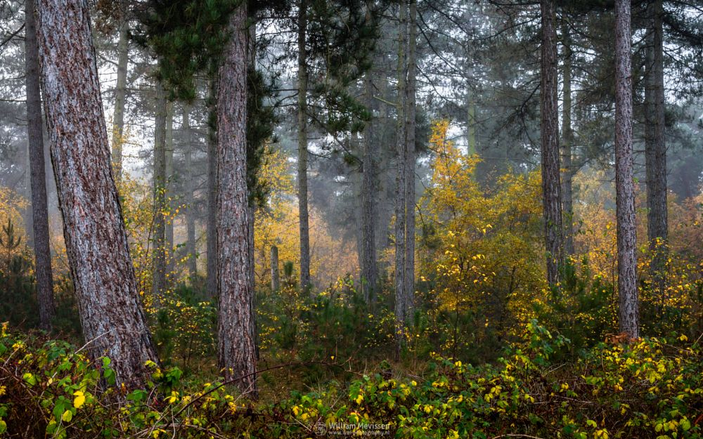 Photo in Nature #national park #nature #yellow #light #morning #tree #autumn #green #trees #misty #mist #foggy #fog #pine #pine forest #forest #silence #mood #lake #reindersmeer #maasduinen #limburg #noord-limburg #well
