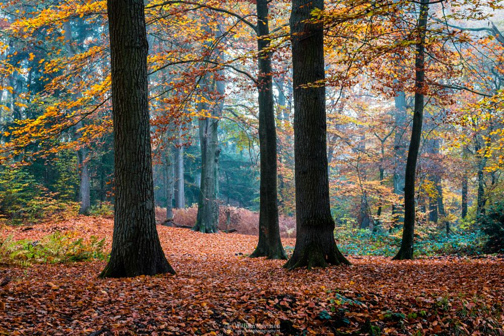 Photo in Nature #geijsteren #venray #oostrum #landgoed geijsteren #estate #landgoed #weichs de wenne #limburg #noord-limburg #nature #nature reserve #forest #woods #autumn #leaves #red #green #orange #yellow #geysteren #foliage #light #tree #trees