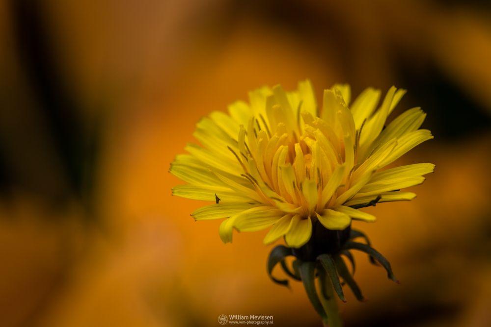 Photo in Macro #autumn #dandelion #paardebloem #yellow #gold #leaves #gras #flower #foliage #garden #golden #ginkgo
