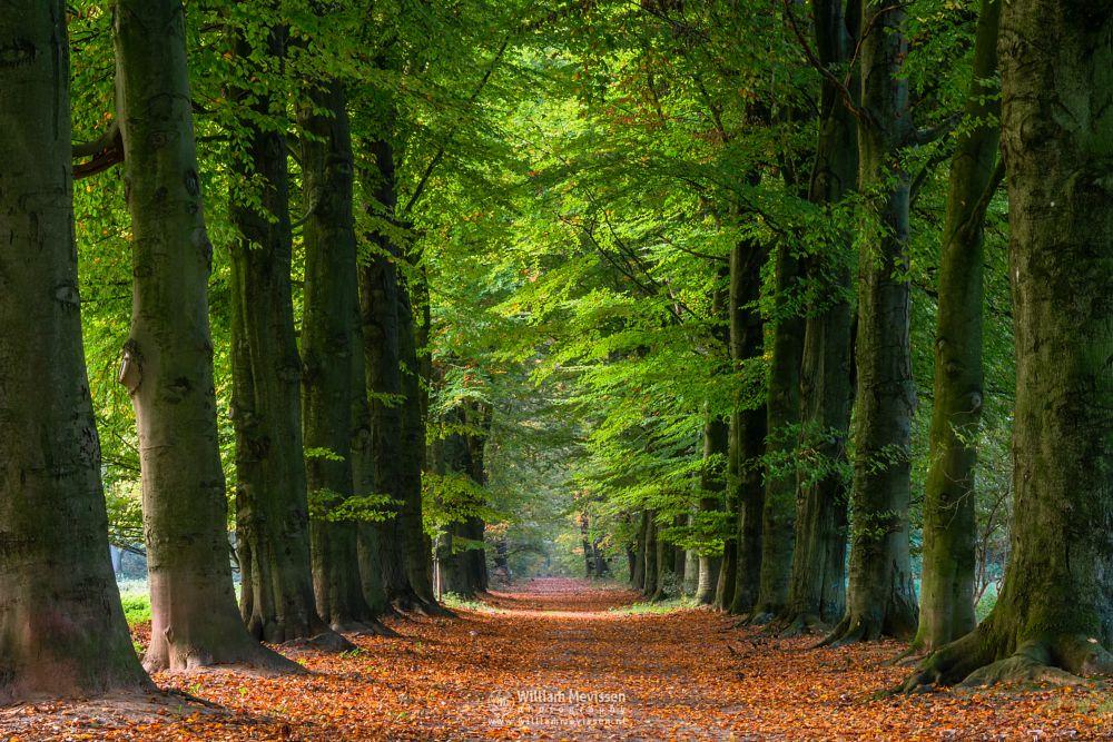 Photo in Nature #geijsteren #venray #oostrum #landgoed geijsteren #nature #forest #woods #limburg #noord-limburg #path #trees #autumn #geysteren #lane #avenue #beech #sunrise