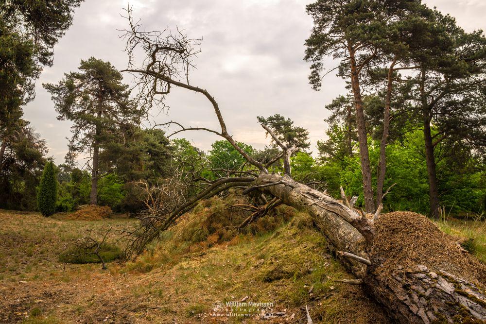 Photo in Nature #limburg #boschhuizerbergen #boshuizerbergen #noord-limburg #forest #venray #nature #netherlands #trees #fresh #cloudy #fallen #tree #ants