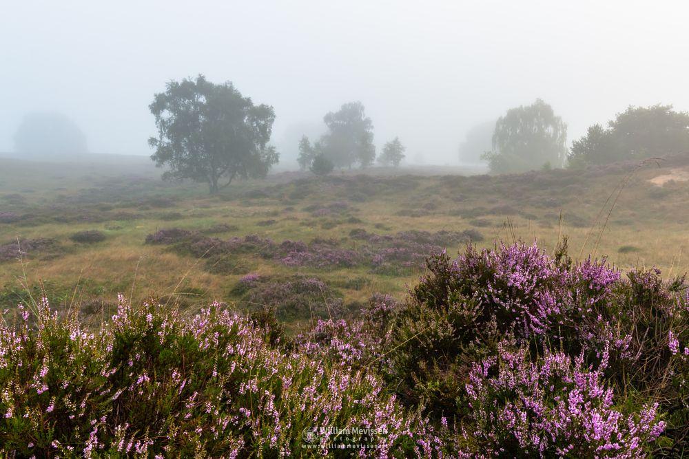 Photo in Landscape #eckeltsebergen #heather #blooming #purple #pink #mist #fog #maasduinen #bergen #nieuw-bergen #limburg #noord-limburg #nature #trees #mood #dunes
