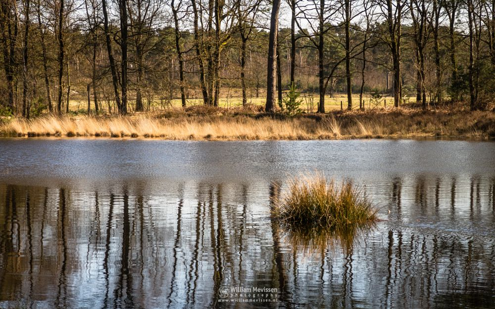 Photo in Nature #ravenvennen #lomm #limburg #velden #venlo #woods #noord-limburg #nature #netherlands #fen #swamp #spring #trees #golden #grasses #reflections