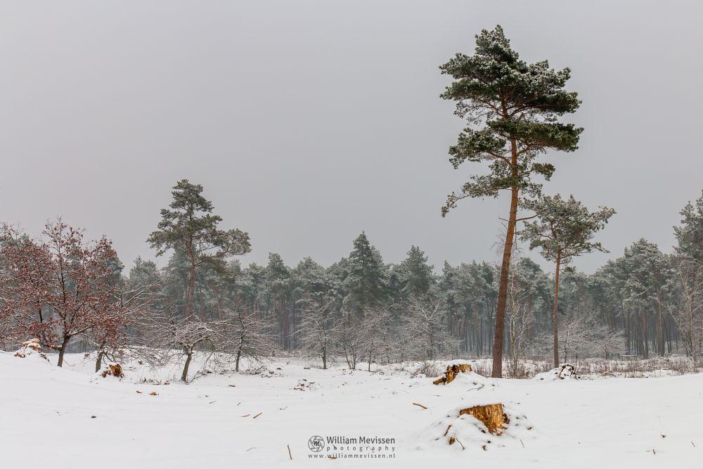 Photo in Landscape #boshuizerbergen #boschhuizerbergen #limburg #noord-limburg #venray #nature #woods #netherlands #pine #snow #winter #dunes