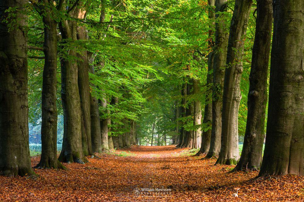 Photo in Nature #geijsteren #venray #oostrum #landgoed geijsteren #limburg #noord-limburg #forest #geysteren #autumn #trees #sunrise #beech #lane #path