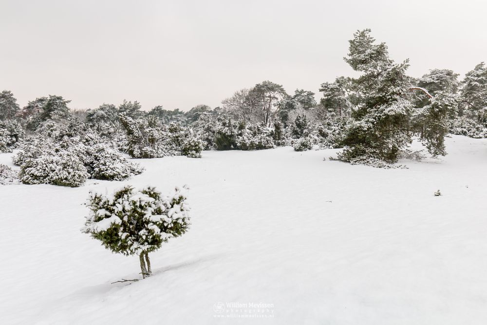 Photo in Landscape #boshuizerbergen #boschhuizerbergen #venray #limburg #nature #noord-limburg #forest #netherlands #dunes #snow #juniper #thickets #winterlandscape #winterscape #winter
