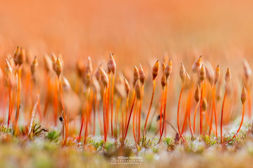 Photo in Macro #bergerheide #moss #maasduinen #noord-limburg #limburg #nieuw-bergen #bergen #nature #light #polytrichum #piliferum