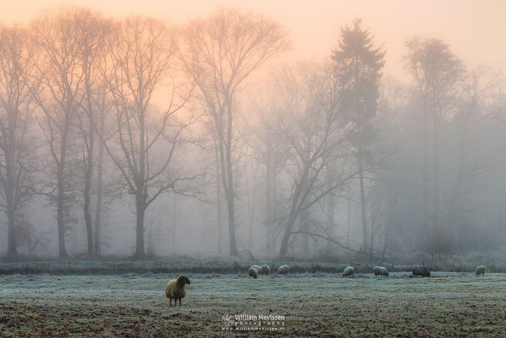 Photo in Landscape #geijsteren #venray #oostrum #landgoed geijsteren #limburg #noord-limburg #nature #trees #winter #geysteren #forest #silhouette #mist #sheep