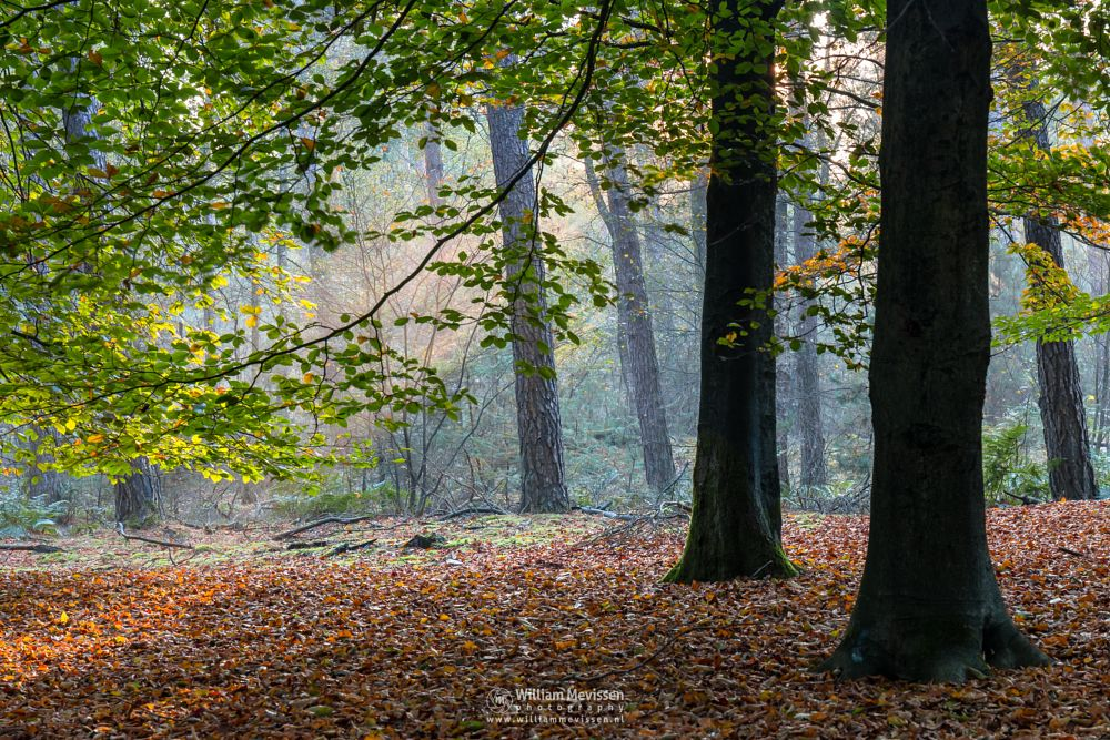 Photo in Nature #nature #ballonzuilbossen #netherlands #trees #autumn #woods #beech #green #mist #fog #mood #sun #venray #limburg #merselo #noord-limburg #forest