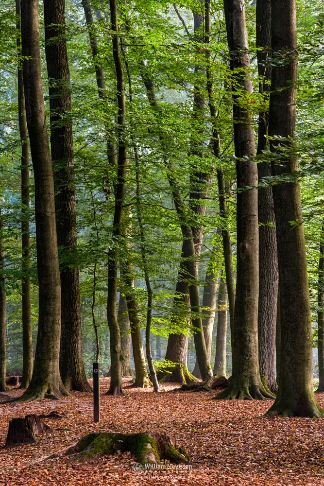 Photo in Nature #geijsteren #limburg #oostrum #venray #landgoed geijsteren #noord-limburg #nature #forest #woods #light #tree #trees
