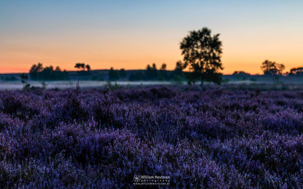 Photo in Nature #forest #woods #heathland #maasduinen #maanoord-limburgsduinen #wellerlooi #bergen #national park #nature #light #land #trees #sunrise #heather #mist #misty #fog #foggy #twilight #purple #blooming