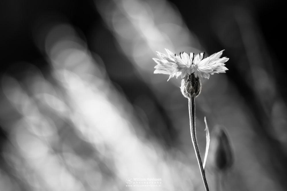 Photo in Black and White #venray #limburg #nature #flowers #bokeh #monochrome #blackandwhite #light #cornflowwer #korenbloem #cornflower