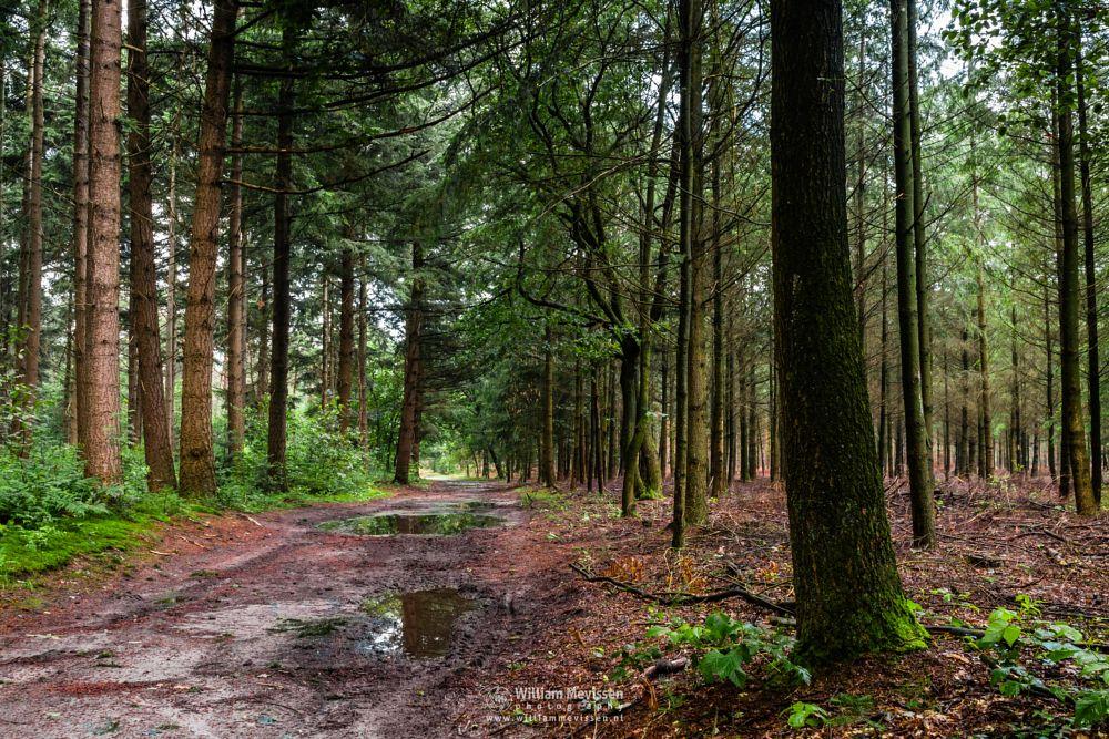 Photo in Nature #geijsteren #venray #oostrum #landgoed geijsteren #estate #landgoed #limburg #noord-limburg #nature #nature reserve #forest #woods #geysteren #foliage #light #tree #path #trees #pine #pine trees #green #puddles #puddle #rain #water