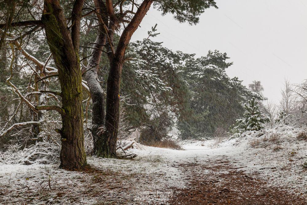 Photo in Nature #forest #bergerheide #maasduinen #limburg #bergen #autumn #winter #snow #tree #path #nature #trees #nieuw-bergen #noord-limburg