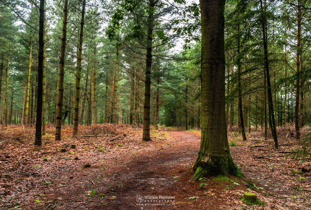 Photo in Nature #geijsteren #venray #oostrum #landgoed geijsteren #estate #limburg #noord-limburg #nature #light #tree #geysteren #woods #forest #nature reserve #trees #path #pine #pine trees #green