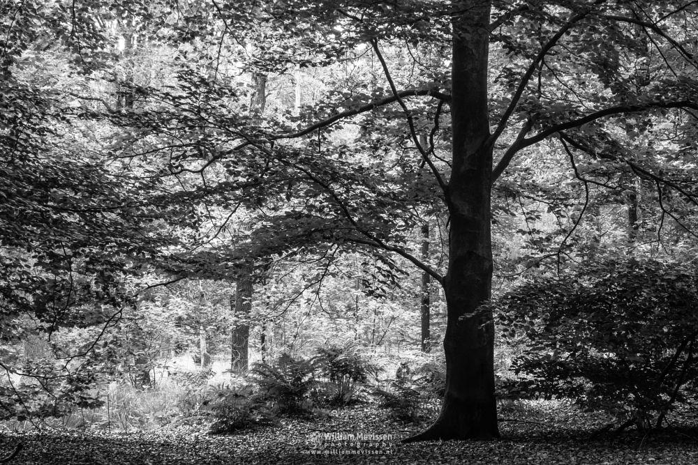 Photo in Black and White #venray #venraynoord-limburg #merselo #nature #trees #ballonzuilbossen #ballonzuil #netherlands #forest #summer #silhouette #woods #sunlight #mood #tree