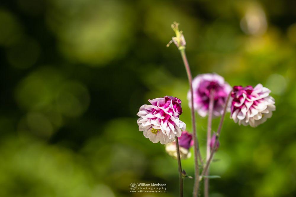 Photo in Macro #aquilegia #vulgaris #winky #double #red #white #columbine #europeancolumbine #crowsfoot #granny #bonnets #flower #macro #spring #green
