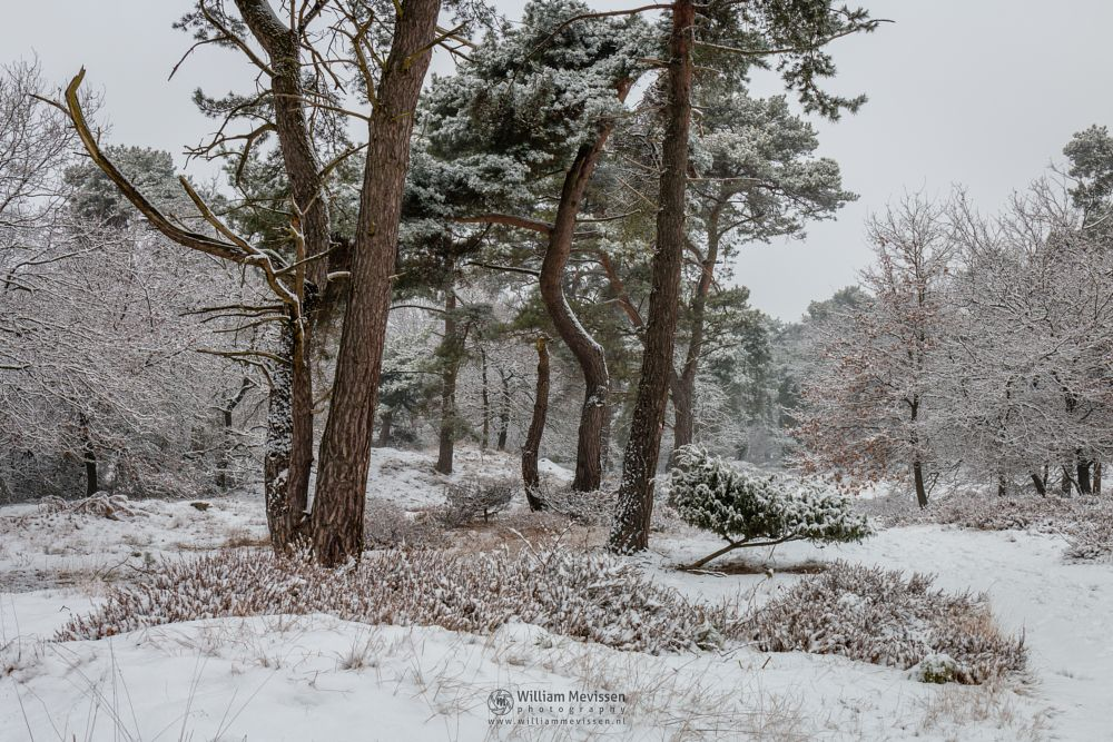 Photo in Nature #boshuizerbergen #boschhuizerbergen #limburg #noord-limburg #venray #nature #nature reserve #forest #woods #netherlands #pine #path #snow #grasses #winter #juniper