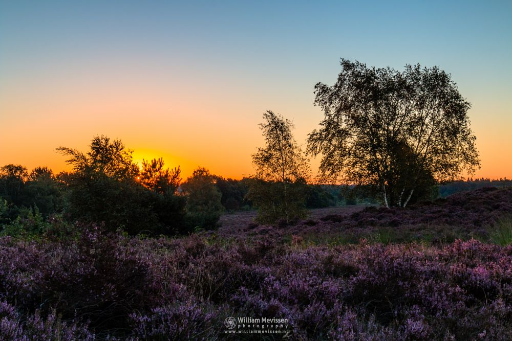 Photo in Landscape #bergerheide #forest #woods #heathland #maasduinen #limburg #noord-limburg #nieuw-bergen #bergen #national park #nature #light #land #trees #heather #sunrise