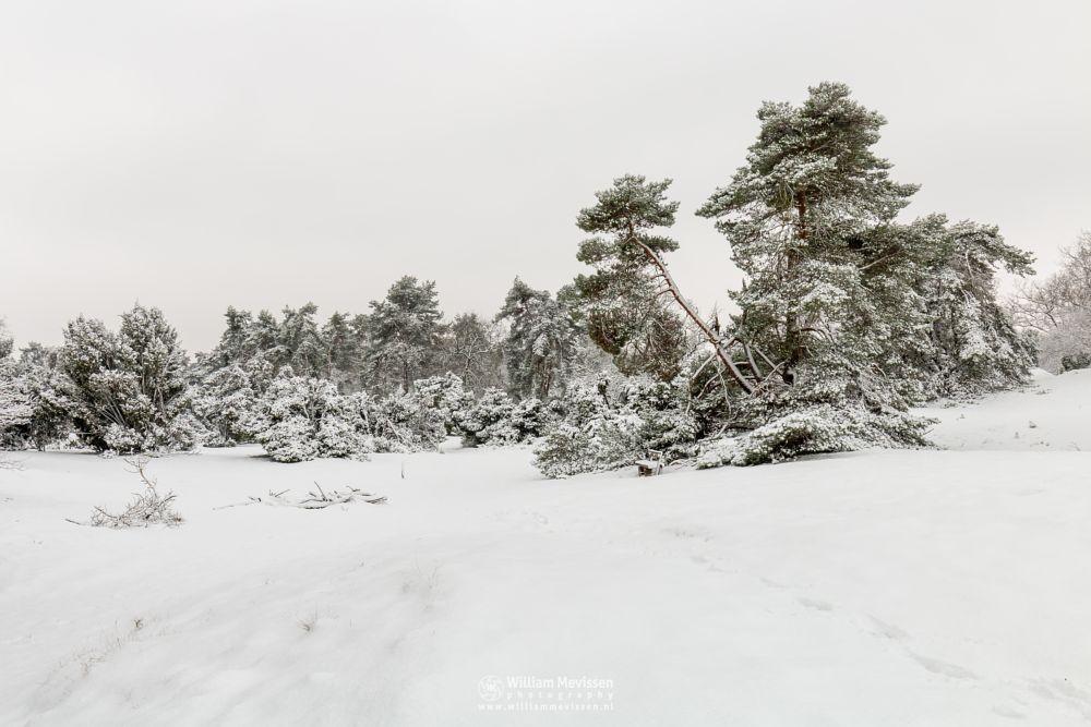 Photo in Landscape #boshuizerbergen #boschhuizerbergen #limburg #venray #woods #forest #nature #winter #winterscape #trees #winterlandscape #thickets #dunes #snow #footsteps #shiftingsand #juniper #noord-limburg #netherlands
