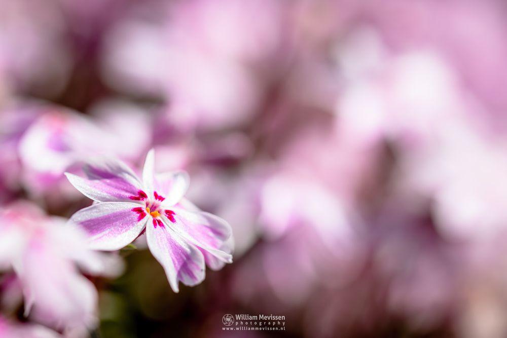 Photo in Macro #flower #bokeh #macro #venray #limburg #noord-limburg #phlox #subulata #candy #stripes #pink #white #sunlight #light