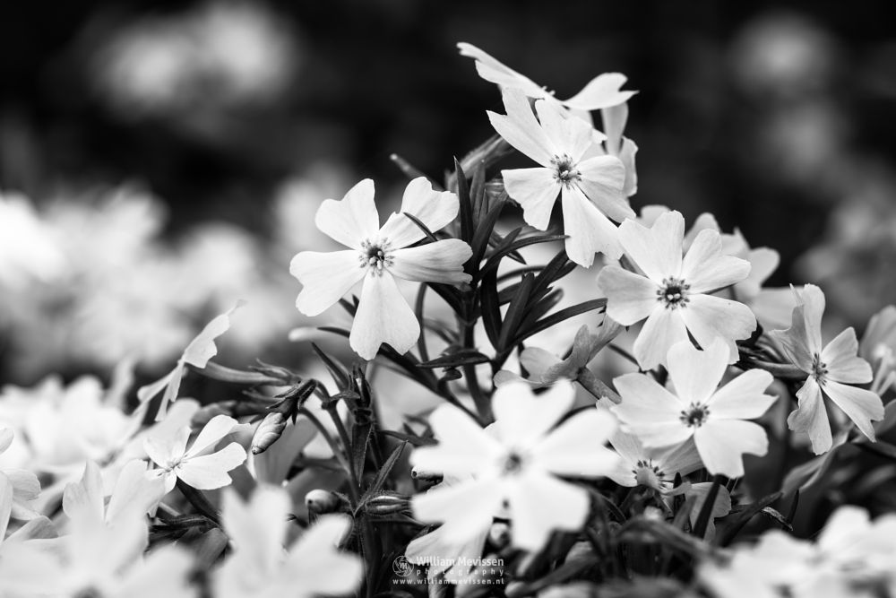Photo in Black and White #flowers #macro #plant #bokeh #light #phlox #sebulata #emerald cushion blue #blackandwhite #bw