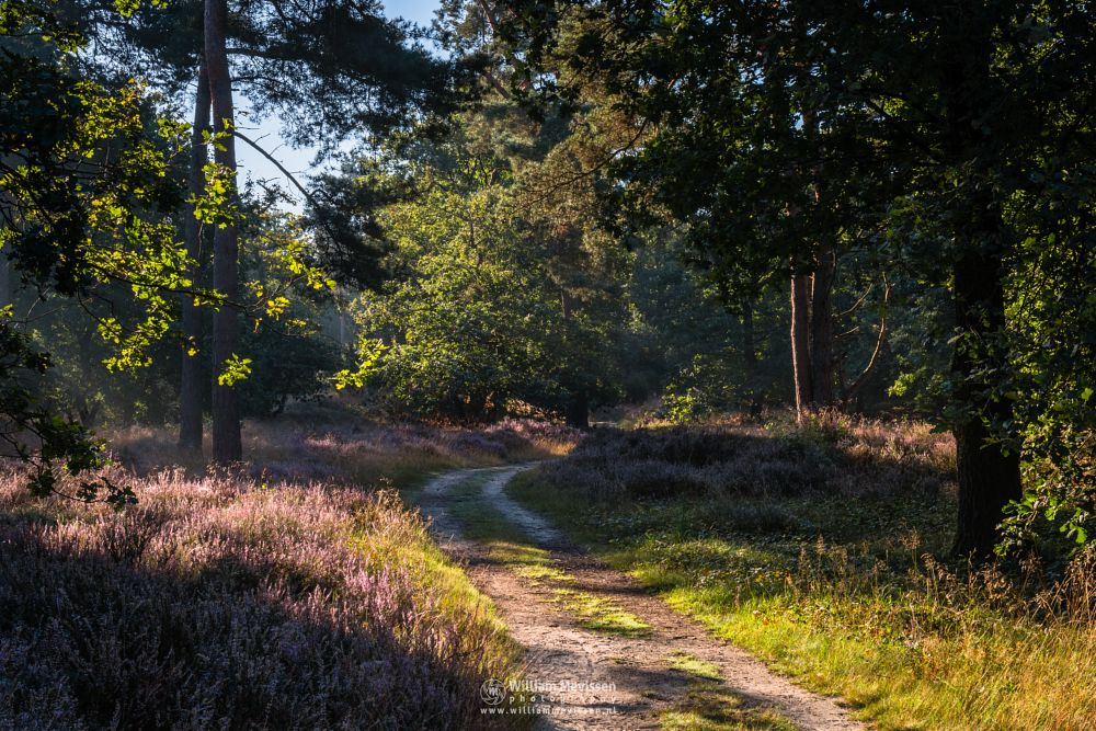 Photo in Nature #boshuizerbergen #boschhuizerbergen #limburg #noord-limburg #venray #nature #nature reserve #forest #woods #limburgs #pine #pine forest #sunrise #light #path #sunlight #heather #rays #beams #hdr