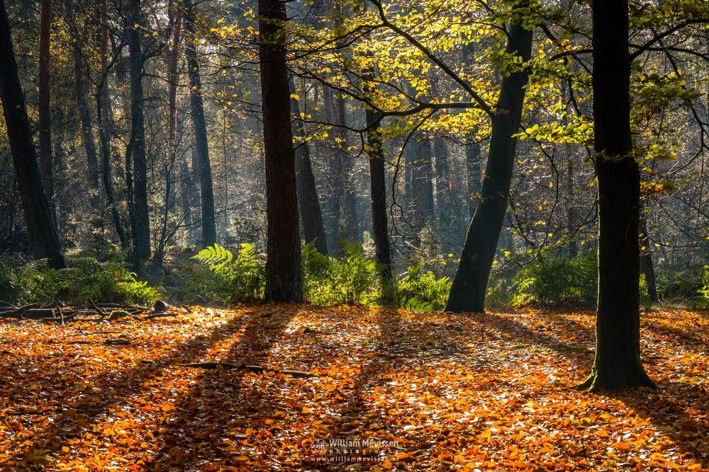 Photo in Nature #venray #limburg #merselo #nature #trees #ballonzuilbossen #woods #beech #mood #autumn #noord-limburg #forest #sun #shadows #light #mist