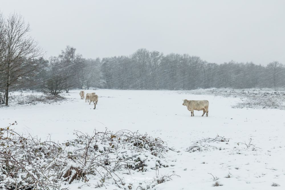 Photo in Landscape #bergerheide #forest #bergen #limburg #nature #cows #cow #snowstorm #winter #nieuw-bergen #snow #maasduinen #noord-limburg