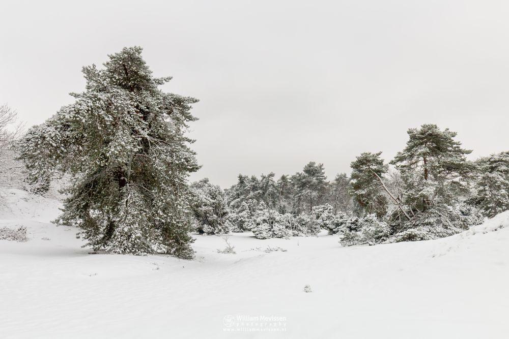 Photo in Landscape #boshuizerbergen #boschhuizerbergen #venray #limburg #nature #juniper #netherlands #shiftingsand #thickets #dunes #snow #winter #winterlandscape #winterscape #woods #noord-limburg
