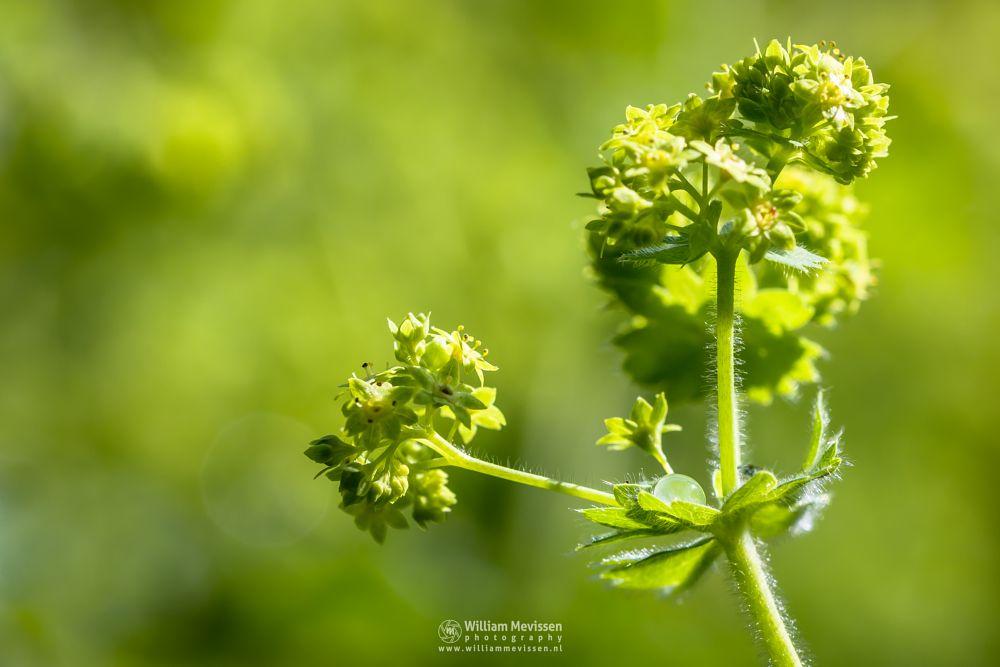 Photo in Random #water #drop #vrouwenmantel #ladysmantle #green #yellow #macro #spring