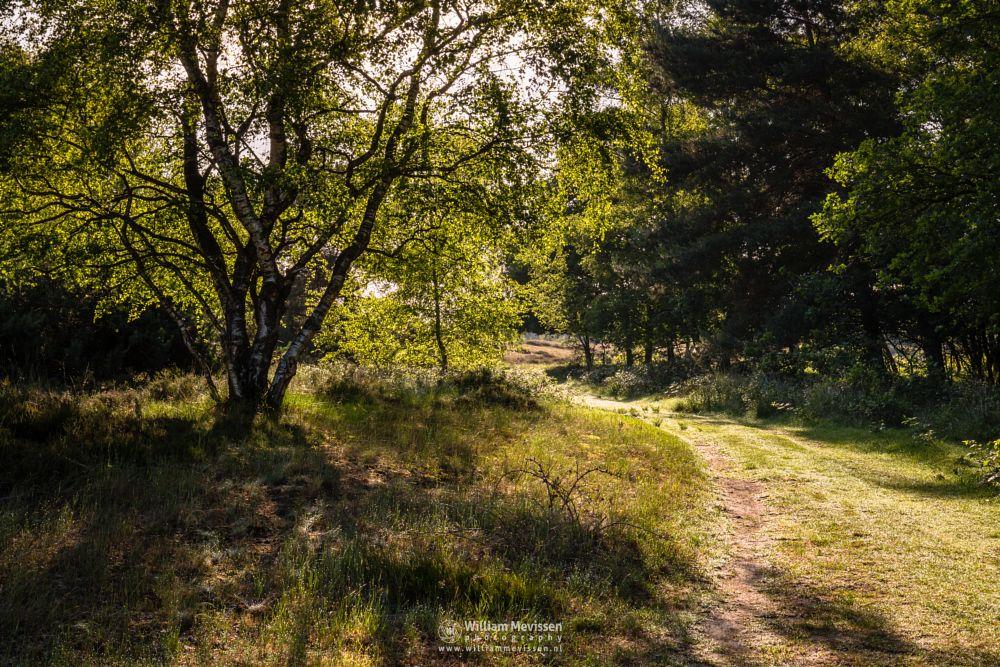 Photo in Nature #bergerheide #forest #woods #maasduinen #limburg #noord-limburg #bergen #nieuw-bergen #nature #light #tree #sunlit #birch