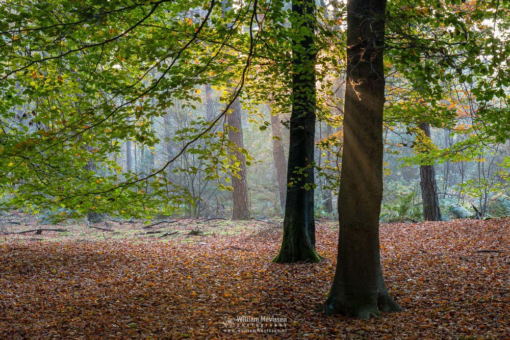 Photo in Nature #venray #limburg #merselo #nature #ballonzuilbossen #trees #noord-limburg #autumn #beech #green #mood #fog #peeking #pine #forest #netherlands