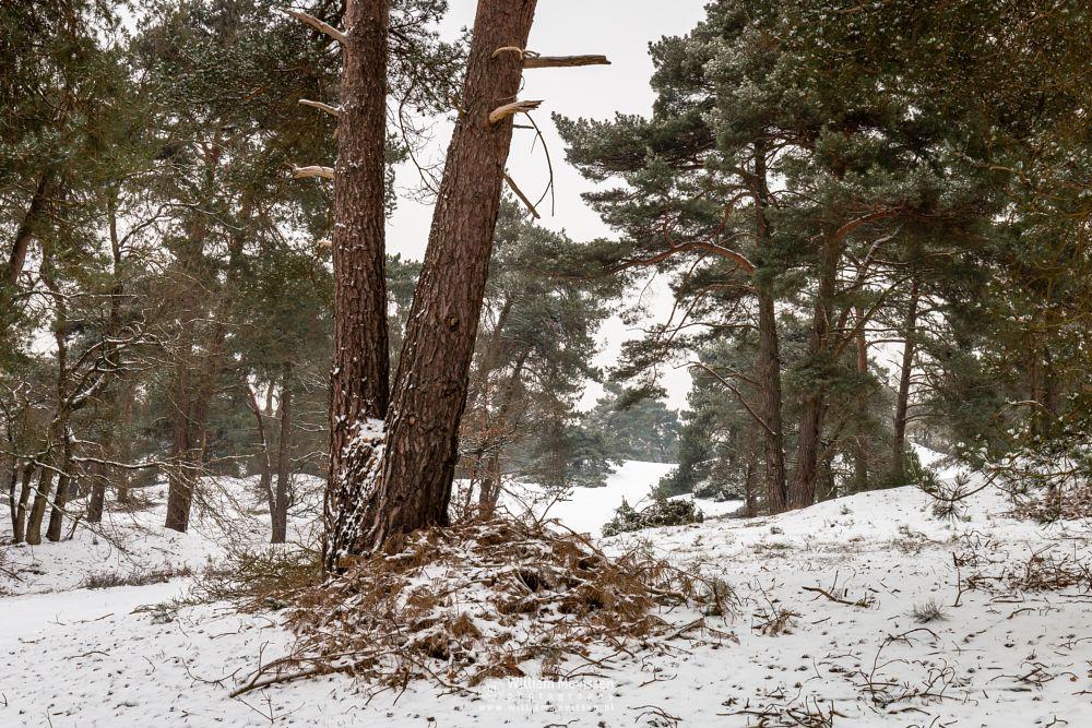 Photo in Nature #forest #woods #snow #winter #winterlandscape #nature #venray #limburg #trunks #tree #trees #winterscape #netherlands #boshuizerbergen #boschhuizerbergen #noord-limburg