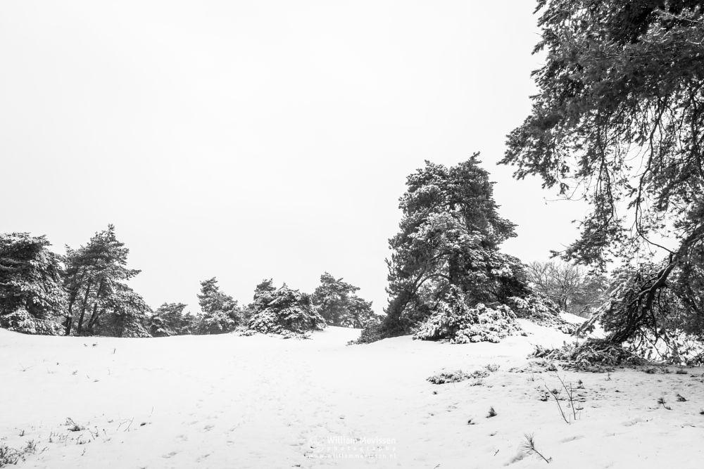 Photo in Black and White #winterlandscape #blackandwhite #shiftingsand #winter #dunes #snow #winterscape #netherlands #venray #limburg #boshuizerbergen #boschhuizerbergen #nature #thickets #juniper #forest #noord-limburg