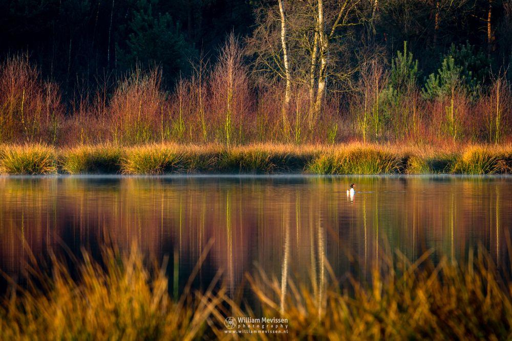 Photo in Nature #bergerheide #forest #woods #maasduinen #limburg #noord-limburg #nieuw-bergen #bergen #nature #mist #fen #driessenven #bergeend #brandgans #shelduck