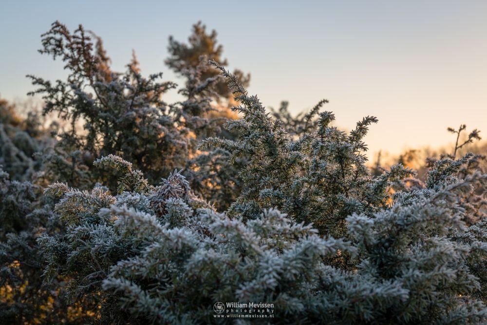 Photo in Nature #boshuizerbergen #boschhuizerbergen #limburg #noord-limburg #venray #sunrise #sunlight #juniper #jeneverbes #forest