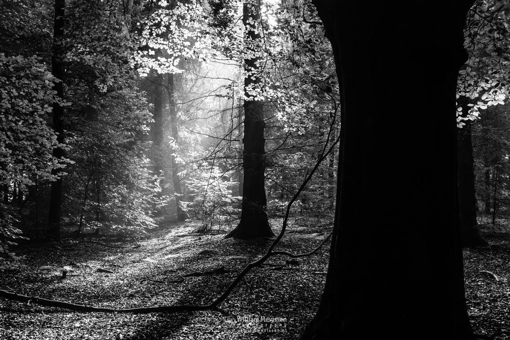 Photo in Black and White #venray #limburg #noord-limburg #merselo #nature #trees #ballonzuilbossen #woods #netherlands #forest #sunlight #mood #trunks #silhouettes