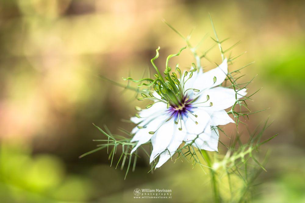 Photo in Macro #nigella #damascena #limburg #juffertje-in-het-groen #ungfer-im-grüne #ragged lady #miss jekyll alba #love-in-a-mist #bokeh #blooming #macro #meadow