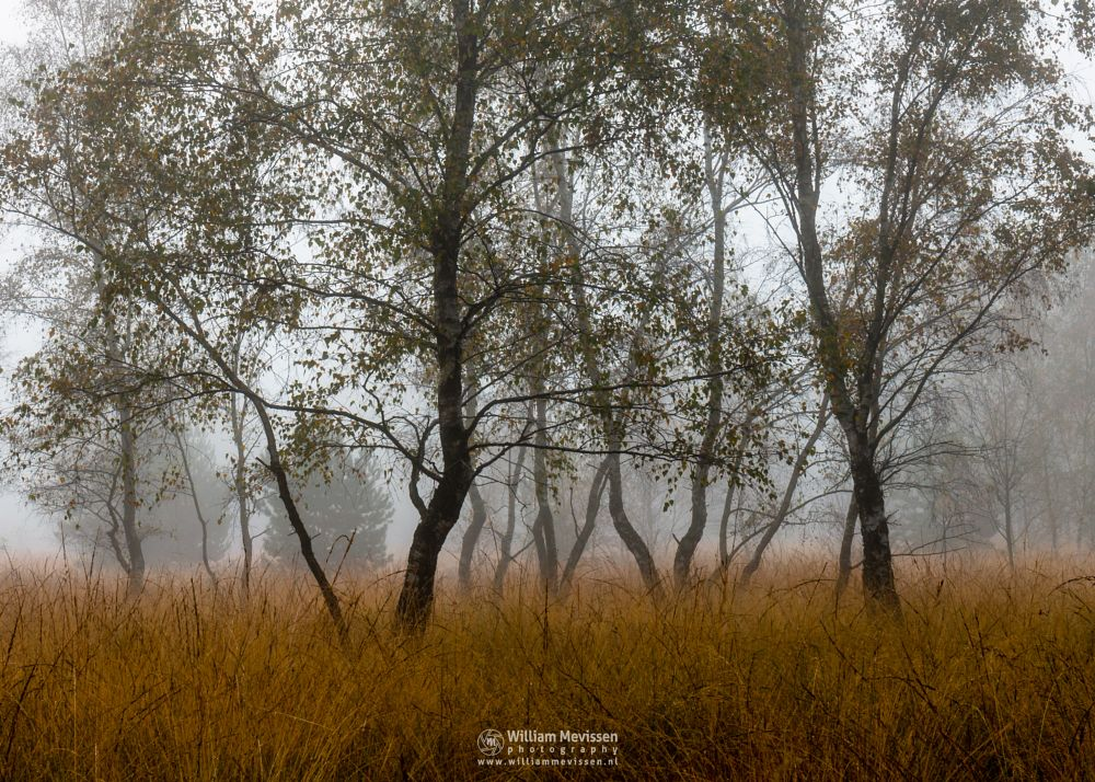 Photo in Nature #bergerheide #forest #woods #maasduinen #limburg #nieuw-bergen #noord-limburg #bergen #nature #trees #autumn #mist #fog #mood #birch #birches