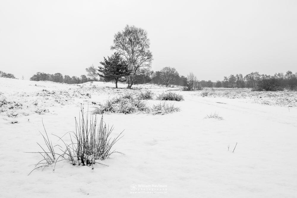 Photo in Black and White #bergerheide #forest #maasduinen #woods #limburg #nature #winter #snow #birches #tree #birch #trees #bergen #blackandwhite #bw #noord-limburg #nieuw-bergen