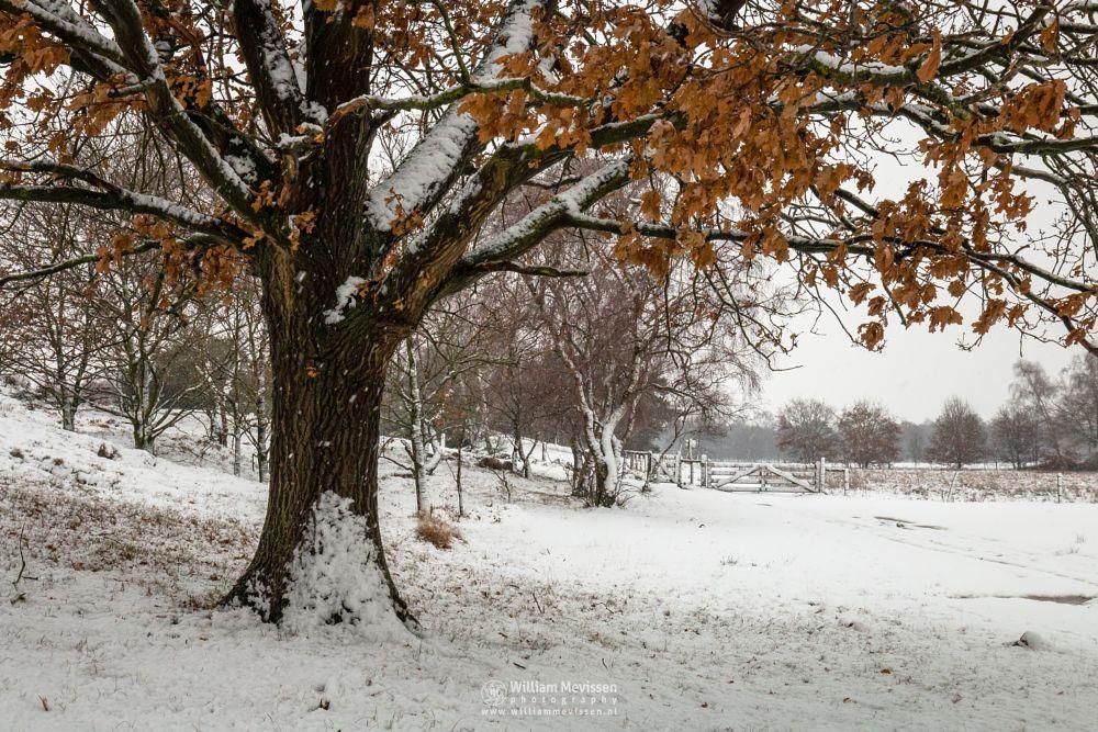 Photo in Nature #bergerheide #forest #woods #maasduinen #nieuw-bergen #bergen #limburg #noord-limburg #winter #autumn #snow #foliage #nature #light
